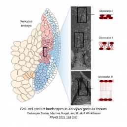 On the right, the tissues of a xenopus embryo at gastrulation. A box in the medoderm expands to the left to show electron micrographs of cells becoming more distant from each other. Long glycocalyx sugar chains interpenetrate each other between cells with glycoclyx III connecting cells over long distances.